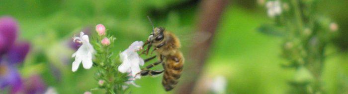 Honigbiene an Thymianblüte