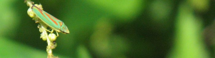 Rhododendronzikade